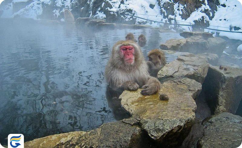 پارک میمون جیگوکدانی ژاپن Jigokudani Monkey Park- خرید اینترنتی پروازهای ژاپن